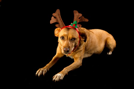 Happy cross breed Christmas dog on black background photo