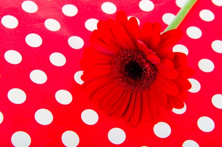 Red Gerber on polka dots photo