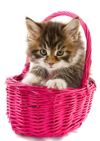 coon: Young Main Coon kitten in pink basket