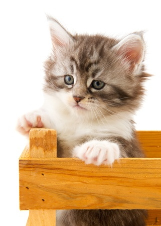 Young Main Coon kitten in wooden crate photo