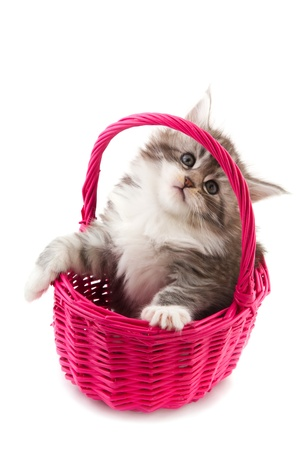 Young Main Coon kitten in pink basket photo