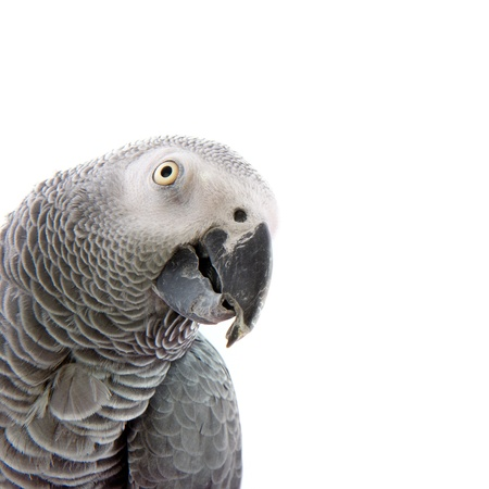 Red-taled African grey parrot with copy space photo