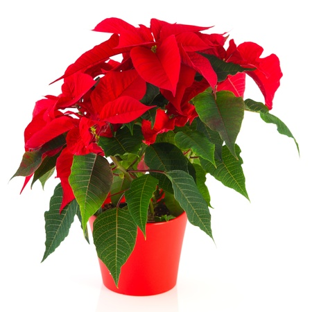 red Christmas Poinsettia plant isolated over white background Stock Photo