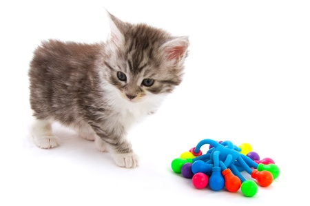 Maine Coon kitten isolated over white photo