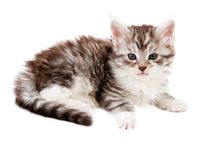 Cute maine Coon kitten isolated over white