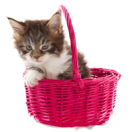 Playing Maine Coon kitten in pink basket photo