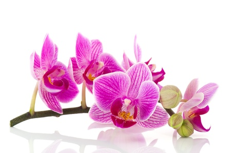 pink orchid: Pink Orchid branch with flowers and buds on white background