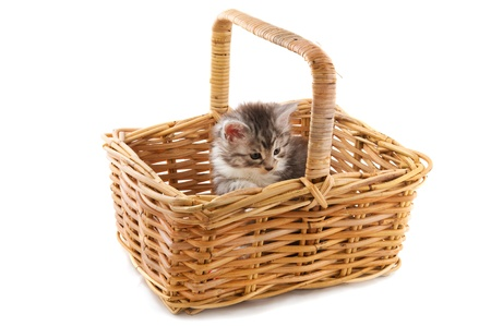 Little Maine Coon kitten in big basket photo