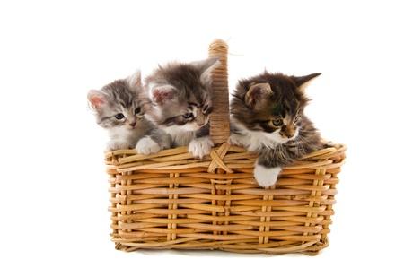 kittens: Little Maine Coon kitten in big basket Stock Photo
