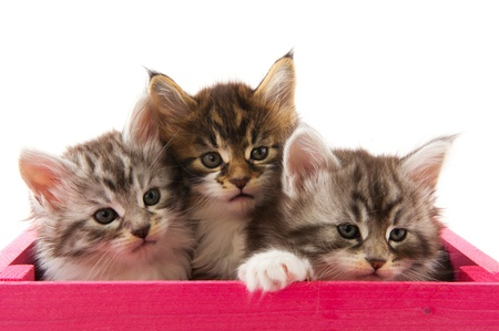 maine cat: Three little Maine Coon breed kittens in pink wooden crate
