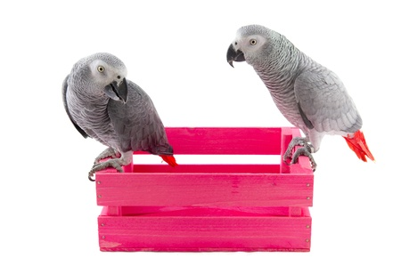 Grey red tail parrots on pink wooden crate photo