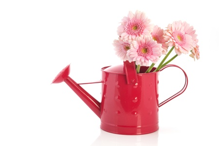 Pink watering can with Gerber flowers isolated over white background photo