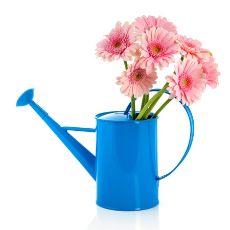 Blue watering can with pink Gerber flowers isolated over white background photo
