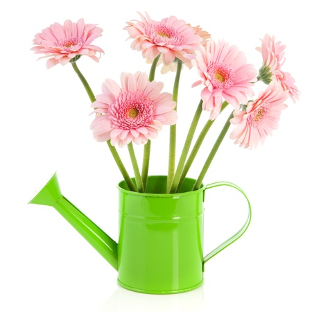 Green watering can with pink Gerber flowers isolated over white background photo
