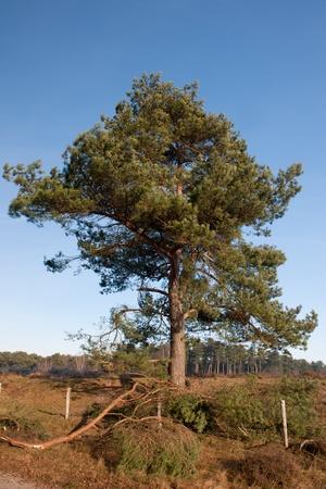 pinus sylvestris: Single tree Pinus sylvestris in nature