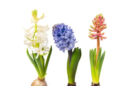 Three Hyacinths in different colors isolated over white background photo
