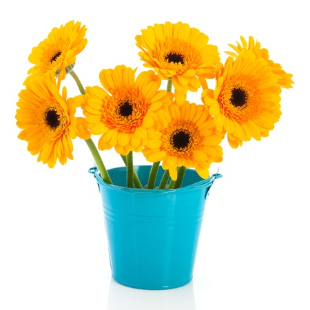 Yellow daisies in blue little bucket isolated over white background