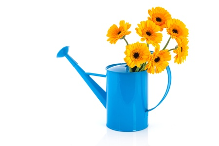 Bouquet yellow daisies in blue watering can isolated over white background photo