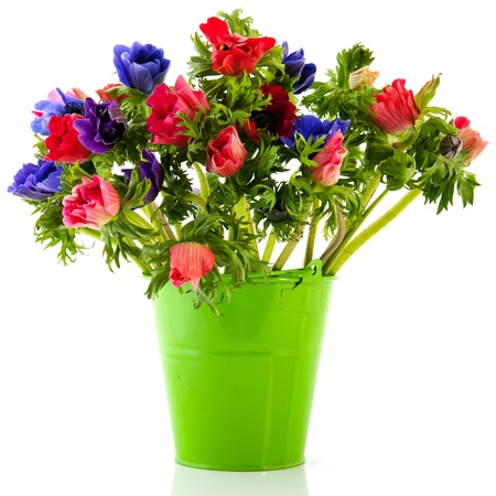 anemone flower: Bouquet Anemones in blue and red isolated over white background