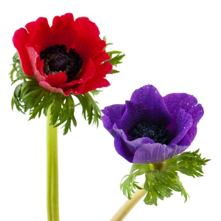 anemone flower: Two Anemones in red and blue isolated over white background Stock Photo