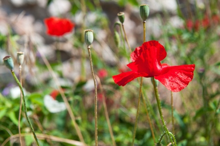 Wild flowers red poppies in nature