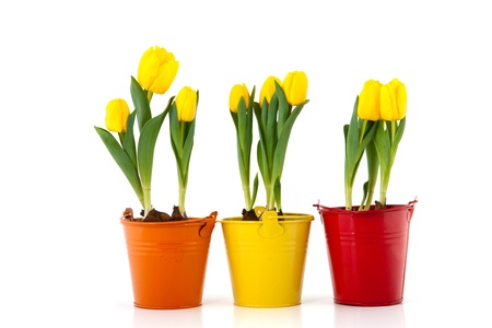 flower bulb: Yellow tulips in colorful flower pots isolated over white background