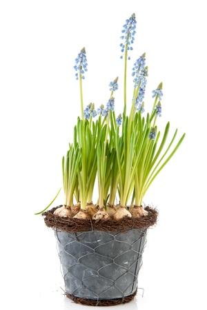 hyacinths: Spring Blue Grape Hyacinths in flower pot Stock Photo