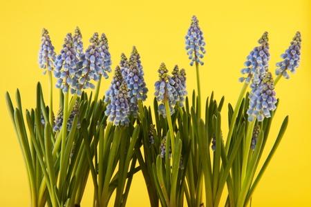 hyacinths: Blue grape Hyacinths on yellow background Stock Photo