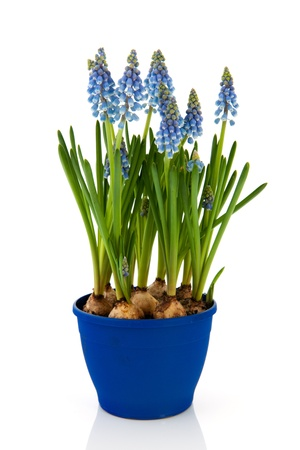 Blue Grape Hyacinths in flower pot