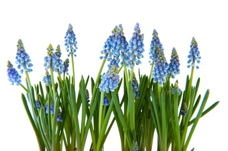 hyacinths: Blue Grape Hyacinths isolated over white background