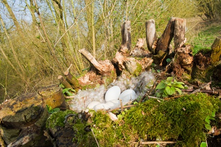 pollard: Goose nest wit eggs and feathers in pollard willow Stock Photo