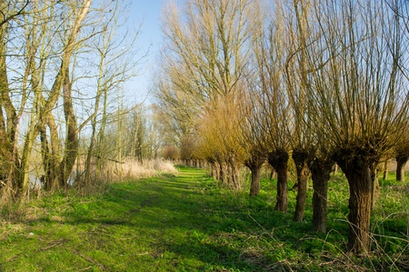 Dutch pollard willows in Biesbosch  photo