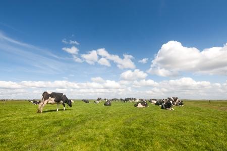 Typische holländische Landschaft mit schwarzen und weißen Kühe auf den Wiesen