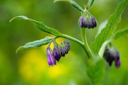 symphytum officinale: Viola fioritura Comfrey contro fiori gialli Archivio Fotografico