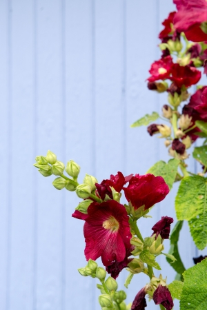 hollyhocks: Red hollyhocks in front of blue shutter in France with copyspace Stock Photo