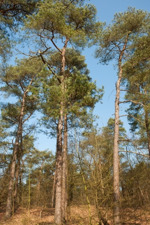 veluwe: Forest with Conifers at the Dutch Veluwe