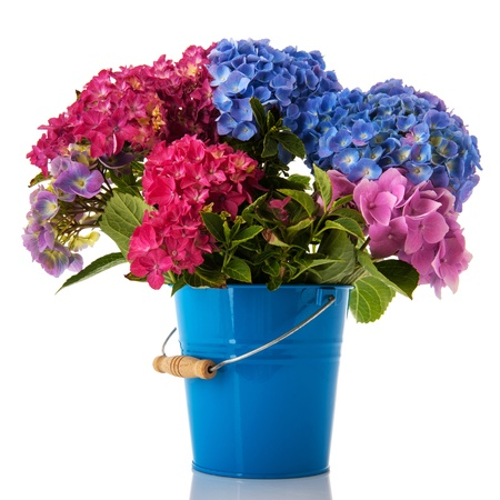Bouquet Hydrangea in blue and pink isolated over white photo
