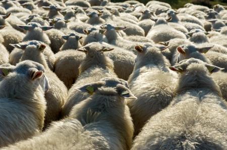 veluwe: Cattle white Veluwe sheep in Ede at Holland