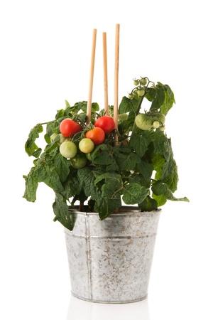 Plant met cherry tomaten in gootsteen pot
