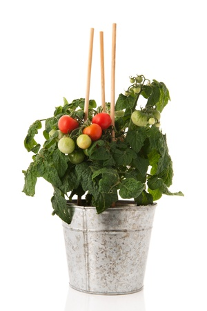 Plant with cherry tomatoes in sink pot photo