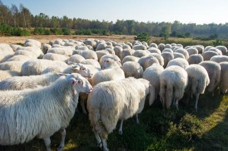 牛は白いオランダでエーデの Veluwe 羊 写真素材