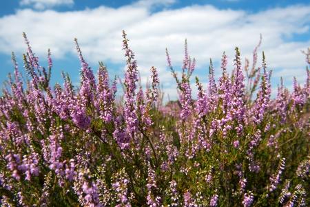 heather: heather with purple flowers