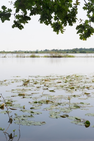 plassen: Water lilies in Dutch Ankeveense plassen