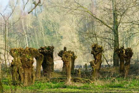 pollard willows: Nature with pollard willows in the Dutch Biesbosch
