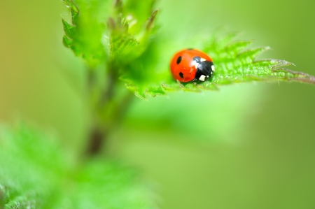 Ladybird in red and black on nettle photo