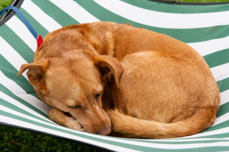 sleeping dog on a striped bed photo