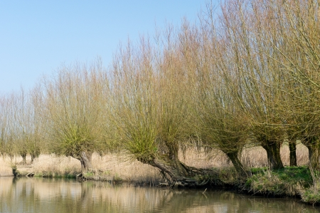 pollard willows: Typical knotted pollard willows in Dutch Biesbosch landscape