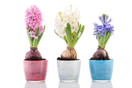 Colorful row hyacinths in flower pots isolated over white background photo
