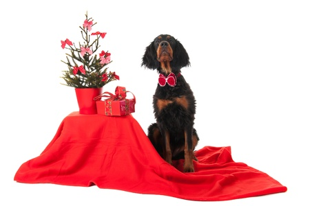 Sitting Gordon Setter dognear the Christmas tree photo