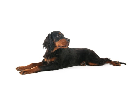 Laying puppy Gordon Setter dog in the studio Stock Photo - 16677419